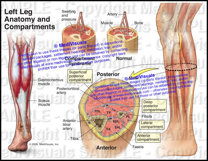 Anatomy And Compartments Of The Left Leg