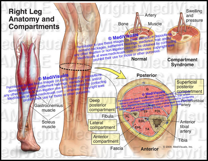 Anatomy and Compartments of the Right Leg