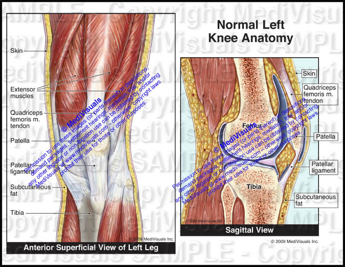 Normal left knee anatomy anterior view showing the superficial muscular and tendonous anatomy and sagittal views of normal left knee anatomy ccuart Choice Image