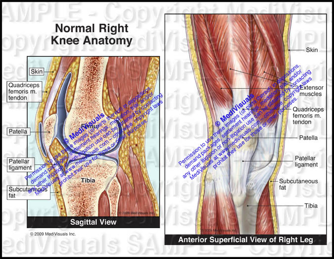 Normal Right Knee Anatomy
